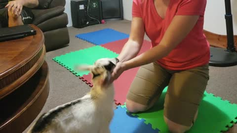Woman Teaches Goat to Fistbump