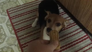 Beagle puppy goes insane for treat