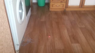 Cat playing with a laser