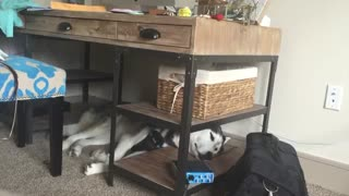 Dreaming Husky talks in his sleep - Video