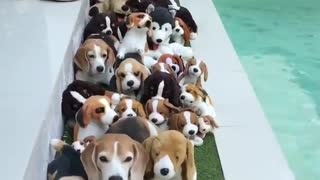 Beagles warm my heart <3 I love my Beagles  - Video