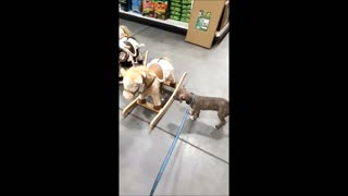 Puppy At Pet Store Thinks Rocking Horse Is Real - Video