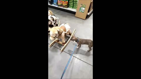 Puppy At Pet Store Thinks Rocking Horse Is Real