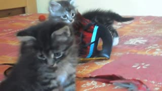 Maine-Coon Kitty Crew - Video