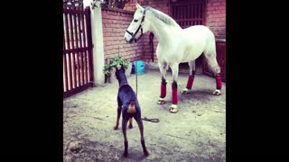 Doberman dog and horse are best friends - Video