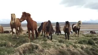 These Wild Icelandic Horses are as Charming as They are Beautiful! - Video