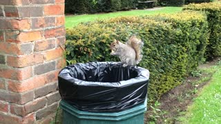 Greedy Squirrel eats fries from the trash- kid thinks this is hiliarious
