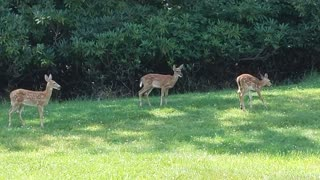 Deer Grazing Time Lapse