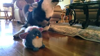 Cute Siberian Husky Afraid of Furbies