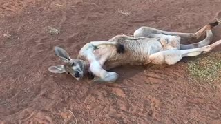Lounging Kangaroo - Video