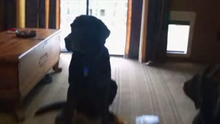 Charlie The Black Lab Rats Out Brother - Video