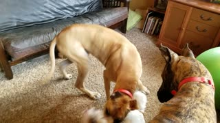 Wild Great Dane and Parson Jack Russell Terrier playing