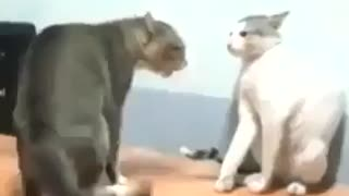 Cats Fighting - Video