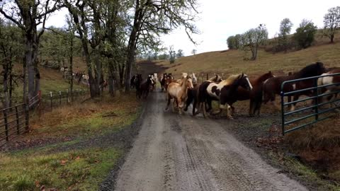 110 rescued horses running to pasture