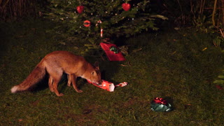 Fox Under a Christmas Tree - Video