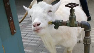 Clever goat scratches itchy face on faucet - Video