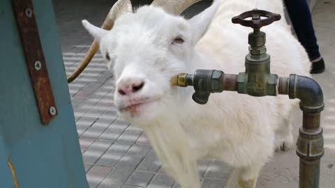 Clever goat scratches itchy face on faucet