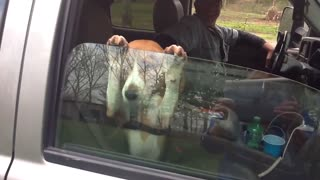 13 animals who love car rides - Video