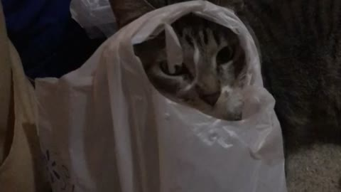 Kitty plays with plastic bag