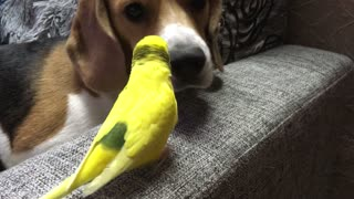 Parrot Scratches Dog Nose