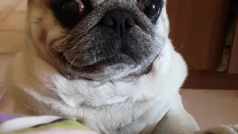 Pug wants to be on the bed