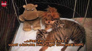Tiger Cubs Play With Lion Cubs - Video