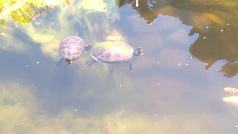 Turtle Family in Pond