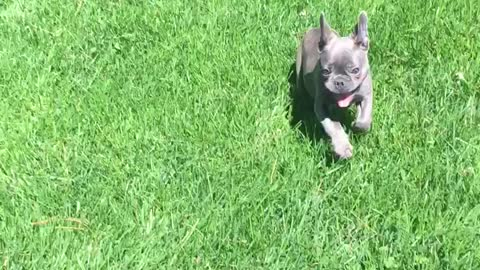 French Bulldogs Body Gives Up