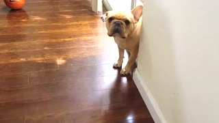 French Bulldog can't hide his guilt - Video