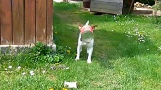 Collab copyright protection - small white dog food can stuck head - Video