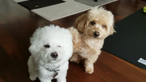 Cute doggy points out best friend on command