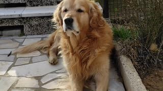 Lazy Golden Retriever is not in the mood for games