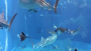 Aquarium in Okinawa Japan - Video