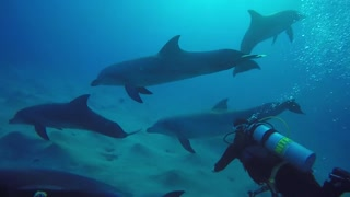 Dolphins swimming with divers in the Red Sea, Eilat Israei