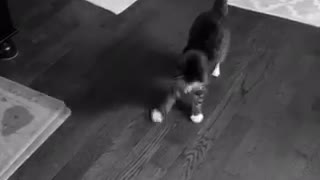 Black and white video of cat jumping and flipping around ball - Video