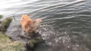 Funny dog likes to jump in the water