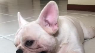 Cute white frenchie french bulldog playing with red ball - Video