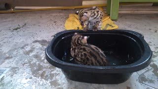 Wild Asian Leopard Cubs Play In Water For The First Time
