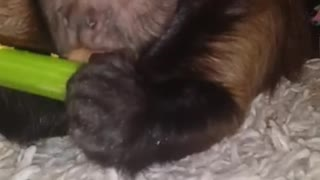 Monkey Eating Celery  - Video
