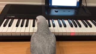 Parrot plays 'Twinkle Twinkle' on her piano - Video