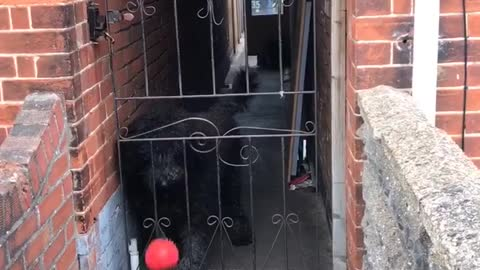 Being fenced in won't stop this pup from playing fetch with strangers
