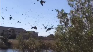 Huge Flock of Birds - Video