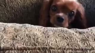 This is so embarrassing dog stuck in couch cushion - Video