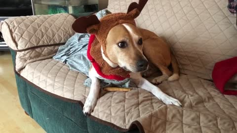 Dog is not very happy wearing her Christmas outfit