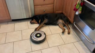 Rottweiler Refuses to Move for Robot