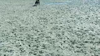 Black dog on beach catches green frisbee  - Video