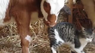Cat playing with caw in the farm - Video