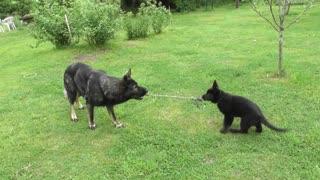 German Shepherd puppy plays tug-of-war with dad