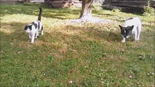 Hilarious French Bulldog barking compilation - Video