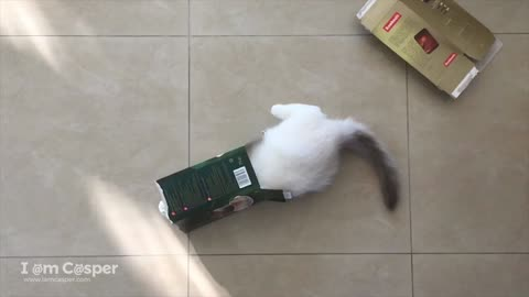 Ragdoll kitten adorably jumps through empty box